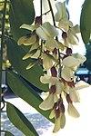 Robinia pseudoacacia - Ροβινία η ψευδακακία.jpg
