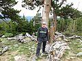 Rocky Mountain bristlecone pine - Flickr - brewbooks.jpg