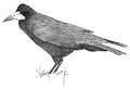 Roek Corvus frugilegus Jos Zwarts 3.tif