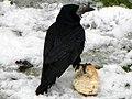 Rook (Corvus frugilegus) (8514504357).jpg