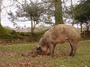 Rooting pig north of the North Bentley Inclosu...