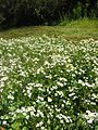 Rorippa nasturtium-aquaticum01.jpg