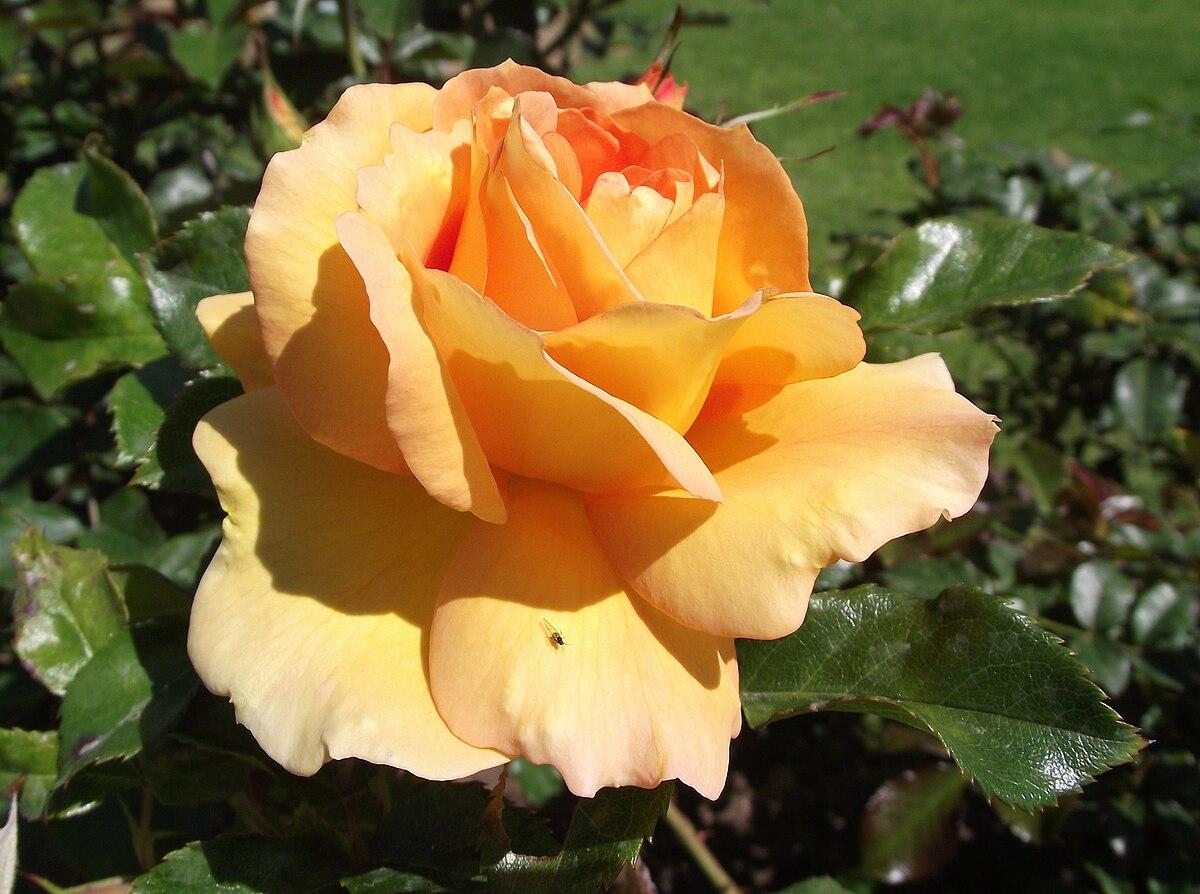 Rosa 'Eureka' - Wikimedia Commons