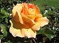 Rosa-eureka.jpg