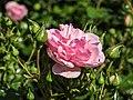 Rosa 'Home and Garden' (d.j.b) 01.jpg