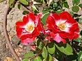 Rosa 'Priscilla Burton' S. McGredy 1978 RPO.jpg