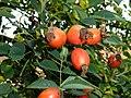 Rosa canina fruit (23).jpg