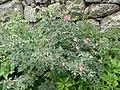 Rosa glauca plant (02).jpg