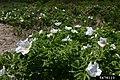 Rosa rugosa inflorescence (36).jpg
