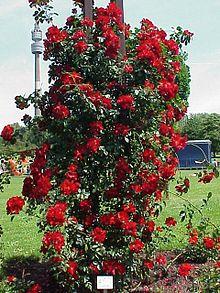 rosier buisson rose