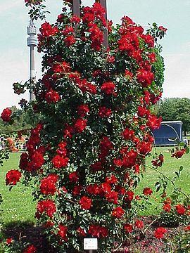 Rosa sp.273.jpg