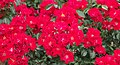 Rose, GodeWind, バラ, ゴーデヴィント, (12867042154).jpg