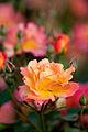 Rose, Souvenir 'd Anne Frank.jpg