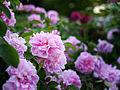Rose, The Countryman, バラ, ザ カントリーマン, (15663074738).jpg