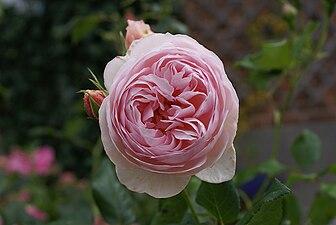 Rose-Renaissance-2 David-Austin.jpg