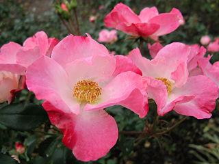 Rose Hana-gasumi バラ 花霞 (5421440378).jpg