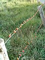 Rose hips on barb wire.JPG