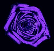 Rose purple001.jpg