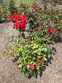 Roses in The Arno, Oxton - IMG 0901.JPG