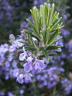 http://upload.wikimedia.org/wikipedia/commons/thumb/5/5f/Rosmarinus_officinalis133095382.jpg/250px-Rosmarinus_officinalis133095382.jpg