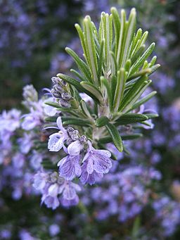 The rosemary herb is lovely and helpful to people while repelling fleas for your cats in the garden!  Be SURE to plant the HERB form of this plant! - Natural Flea Treatment Cats