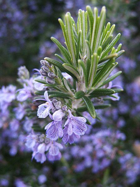 File:Rosmarinus officinalis133095382.jpg