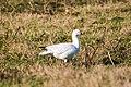 Ross' goose (25525874758).jpg