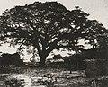 Rosti, Paul de - »Recueil de Vues photographiques prises au Mexique et a Venezuela«, Der große Zamang neben Turmeo, Venezuela (Zeno Fotografie).jpg