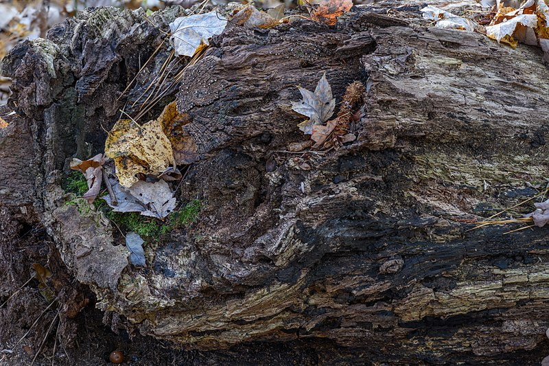 File:Rotten Log at Red Wing Park.jpg