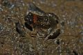 Round-tongued Floating Frog (Occidozyga martensii)4.jpg