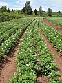 Rows of potato plants - geograph.org.uk - 876931.jpg