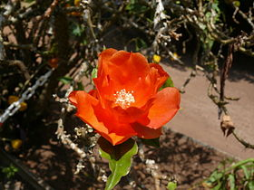 Royale fleur flower orange red rouge.jpg