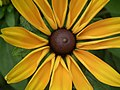 Rudbeckia from Lalbagh flower show Aug 2013 8278.JPG