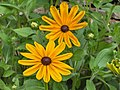 Rudbeckia hirta Indian Summer.JPG