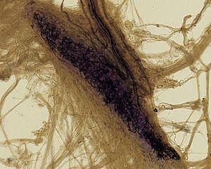 Bulbous corpuscle - Image: Ruffini Corpuscle by Angelo Ruffini