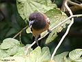Rufous Treepie I IMG 3553.jpg