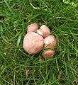 Rugosomyces carneus (36908390466).jpg