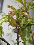 Ruhland, Grenzstr. 3, Kräuselkrankheit an Nektarine, befallene Blätter, Frühling, 02.jpg