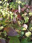 Ruhland, Grenzstr. 3, gelbe Elfenblume im Garten, blühend, Frühling, 07.jpg