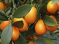 Rutaceae(Fortunella margarita)Cl J Weber (23379520530).jpg
