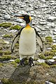 SGI-2016-South Georgia (Fortuna Bay)–King penguin (Aptenodytes patagonicus) 02.jpg