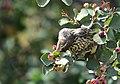 Sage thrasher on Seedskadee National Wildlife Refuge (35814843990).jpg