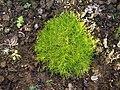 Sagina procumbens a1.jpg