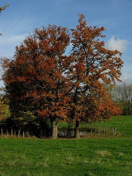 Saint Jean sur Reyssouze (France, Rhône Alpes, Ain) - Arbres à la fin de l'automne - 08 novembre 2008