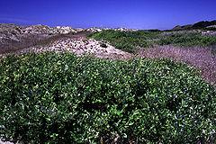 Salixhookeriana.jpg