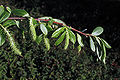 Salixlaevigata.jpg