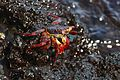 Sally Light-foot Crab 1.jpg