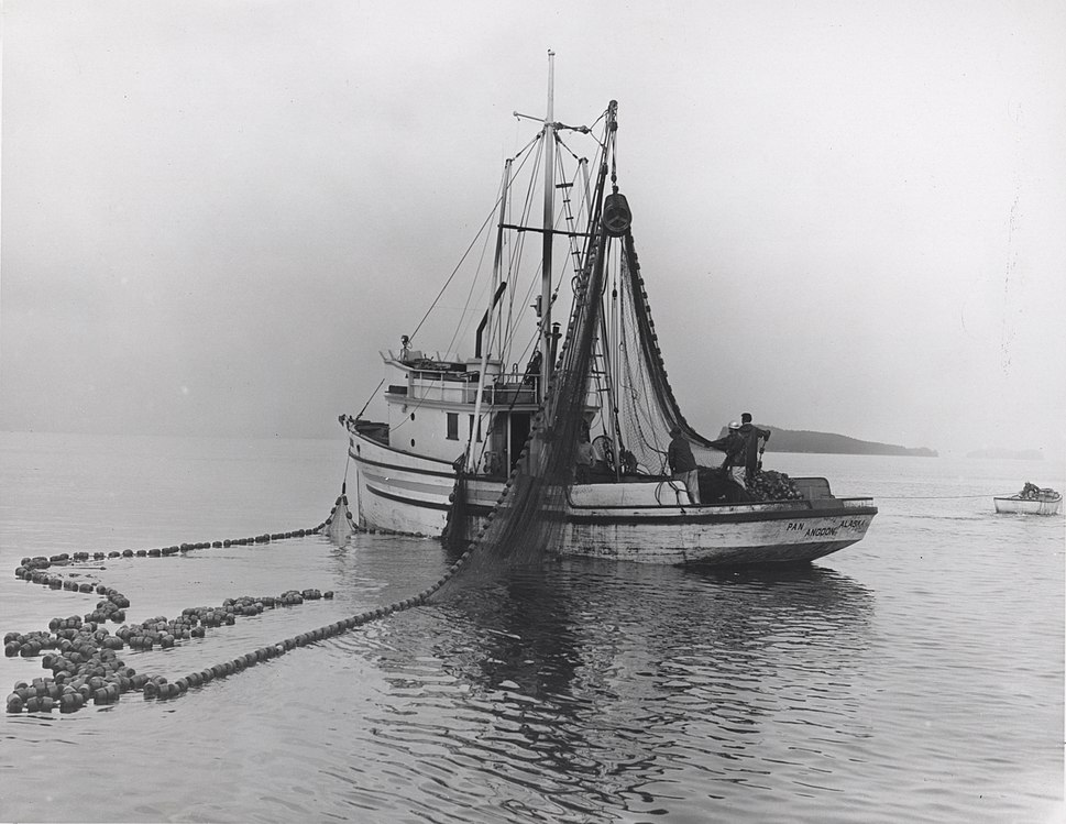 Salmon seiner drumming in the net