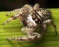 Salticidae Eris sp.jpg