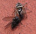 Salticus scenicus with a fly VI.jpg